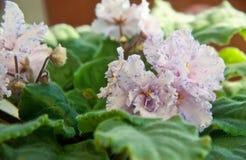 Försiktiga violets, i att blomstra royaltyfria bilder