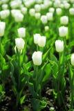 Försiktiga vita tulpan Royaltyfri Foto