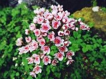 Försiktigt ljus - rosa Bergenia Arkivfoto