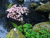 Försiktigt ljus - rosa Bergenia och en ström Royaltyfria Foton