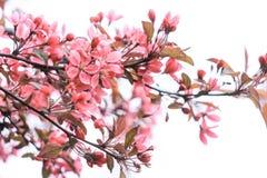 Försiktigt rosa inflorescence av sakura Arkivfoton
