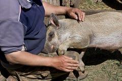 Försiktigt svin arkivfoton