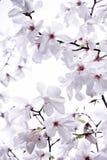 Försiktigt vit magnolia Royaltyfri Fotografi