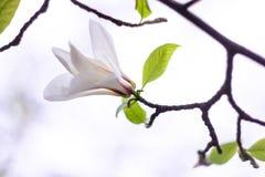 Försiktigt vit magnoliablomma Royaltyfri Fotografi