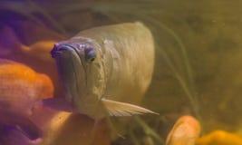 Försilvra arowanaen, ett populärt dekorativt akvariumhusdjur, tropisk fisk från den amazon handfatet av Amerika fotografering för bildbyråer