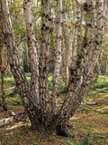 Försilvra björktrees på Holmfen. Arkivbild
