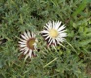 Försilvra den vita blomningen för tisteln i bergen i vår royaltyfria bilder