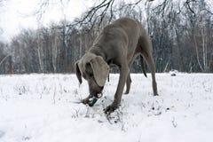 Försilvra för hundweimaraner för weimaraner som den fullblods- manliga hunden ner lägger, arkivbilder