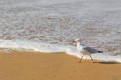 Försilvra fiskmåsseabirden som promenerar stranden i eftermiddagen Arkivbilder