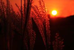 Försilvra gräs Arkivfoton