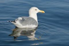 Försilvra seagullen arkivfoton