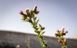 Försilvra tisteln som blommar i öknen royaltyfria foton