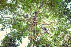 Försilvrad Leafapa Familj av silvriga langurs Arkivfoto
