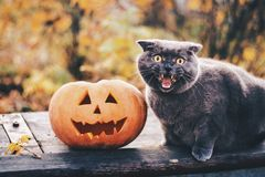 Förskräckt katt för allhelgonaafton och en pumpa Royaltyfria Foton