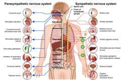 Förstående och parasympathetic medicinsk illustration för nervsystem 3d på vit bakgrund arkivfoto