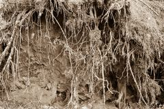 Förstört abstrakt begrepp och begränsar rhizomar av träd Arkivfoto
