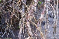 Förstört abstrakt begrepp och begränsar rhizomar av träd Arkivbilder