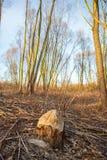 Förstört träd Arkivfoton