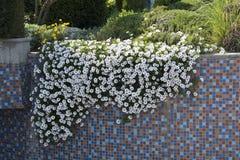 först blommafjäder tusensköna Arkivbilder