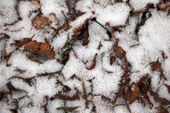 Först snö som täcker höstsidorna Royaltyfria Bilder