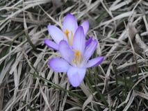 första blommafjäder för krokus Arkivfoto