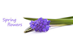 första blommafjädrar för blue Arkivbild
