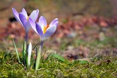 Första blommande purpurfärgade krokus på oskarp gräsbakgrund under den tidiga våren arkivbilder