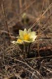 första blommasnowdropsfjäder Arkivfoto