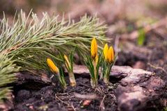 första blommor royaltyfri bild