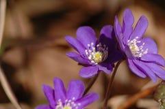 första blommor Royaltyfri Fotografi