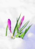 första blommor för krokus Royaltyfri Foto