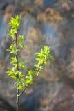 första försiktiga leavesfjäder Fotografering för Bildbyråer