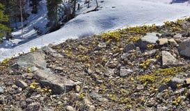 Första farfara för vårtussilagoTussilago i blomning Arkivfoton