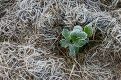 Första frost Royaltyfri Foto