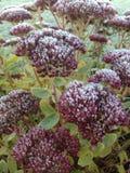 Första frost på växter Royaltyfri Fotografi