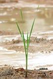 första gräs Royaltyfria Bilder