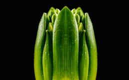 Första gröna knopp Arkivfoton