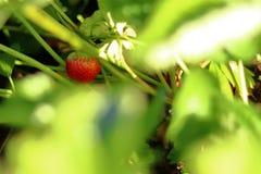 Första jordgubbe denna sommar fotografering för bildbyråer
