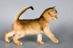 första kattungestudiogång som royaltyfria foton