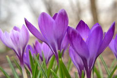 Första krokus i våren Royaltyfri Bild