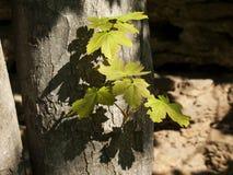 första leaves Arkivbilder