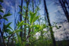 första leaves Fotografering för Bildbyråer