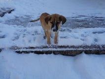 Första snö för liten valpklocka Fotografering för Bildbyråer