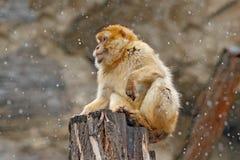 Första snö med djuret Barbary macaque, Macacasylvanus som sitter på vagga, Gibraltar, Spanien Djurlivplats från naturen kallt fotografering för bildbyråer
