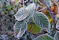 Första snö på closeupen för buske för löst hallon Royaltyfri Foto