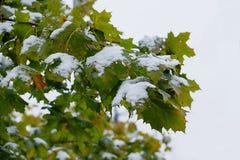 Första snö på lönnlöv Arkivbilder