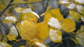 Första snö på torra gula sidor av trädet den färgrika bakgrunden arkivfilmer