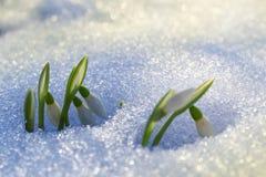 Första snowdrops Royaltyfri Fotografi