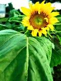 Första solros som i år blommar royaltyfri bild
