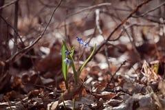 Första squillScilla bifolia L blommar i en vårskogsol Arkivbild